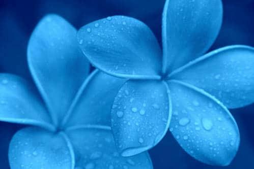 Ho'oponopono fiore blu